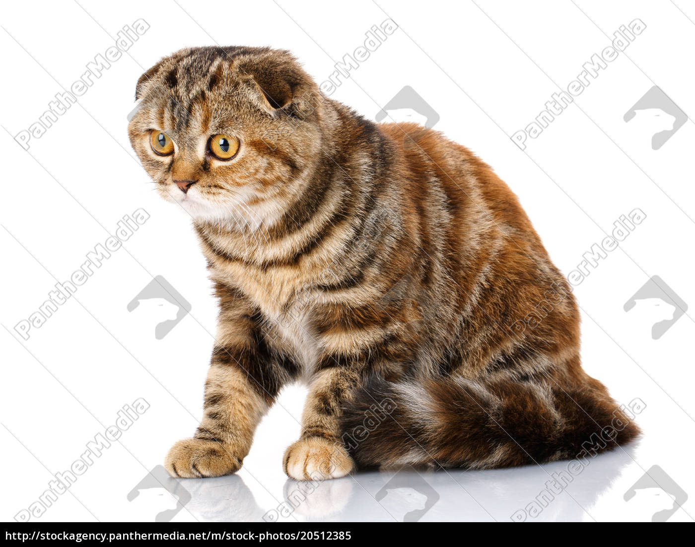 scottish, fold, cat, bicolor, stripes, isolated - 20512385