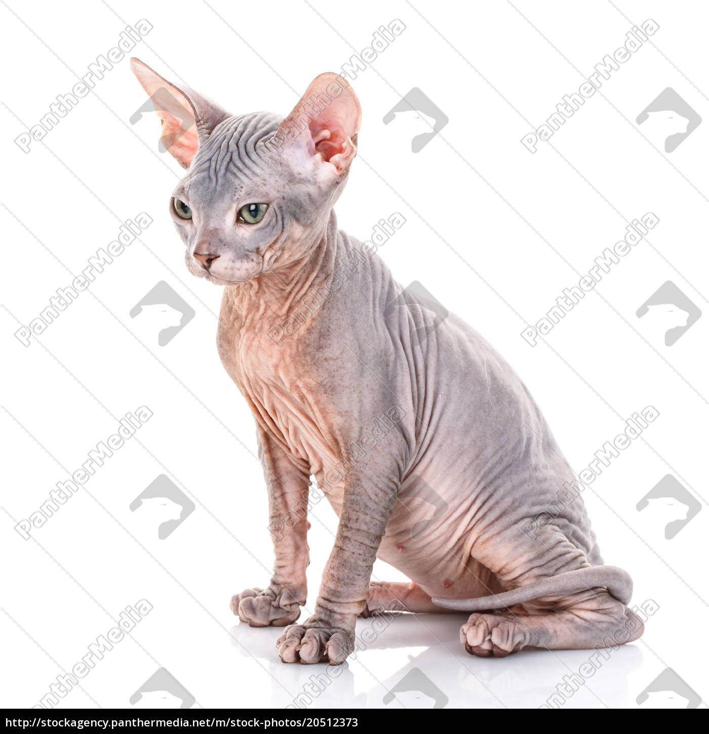 sphinx, cat, on, white, background - 20512373