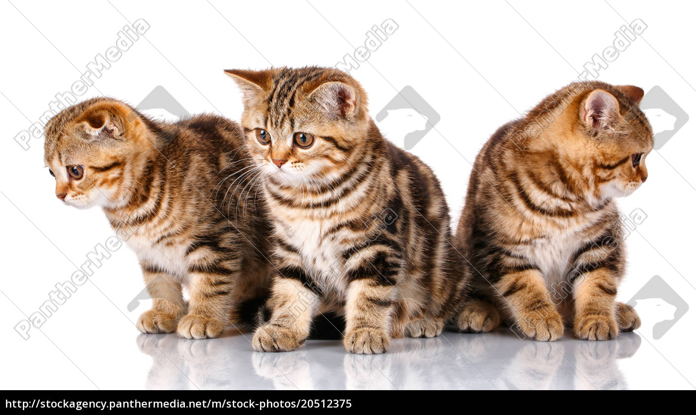 three, scottish, kittens, sitting, , isolated, on - 20512375