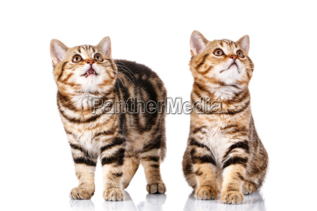 two, cats, on, white, background - 20512377