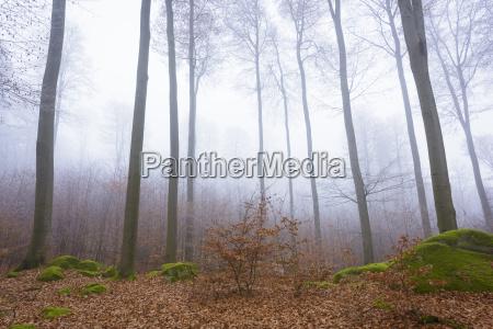 beech forest fagus sylvatica and felsenmeer
