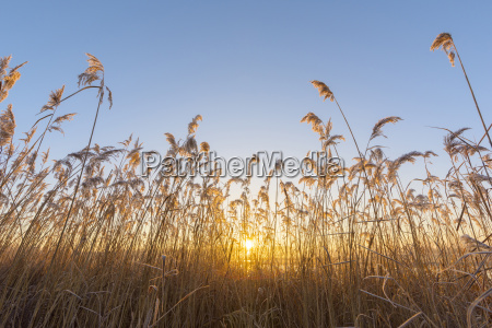 reeds at sunrise in winter hesse