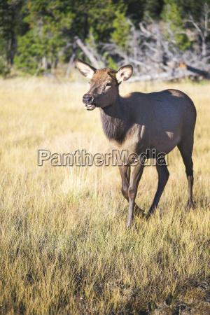 usa wyoming yellowstone nationalpark female wapiti