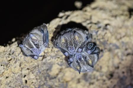 peru manu national park vampire bats