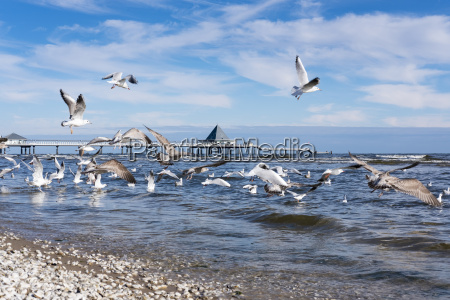 germany usedom heringsdorf seagulls at pier