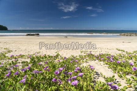 myanmar blossoms of beach morning glory