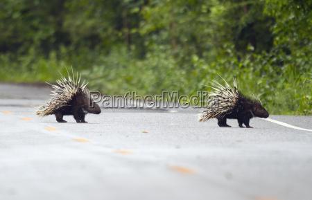 thailand petchaburi province two malayan porcupines