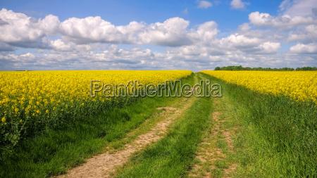 rape field with dirt road