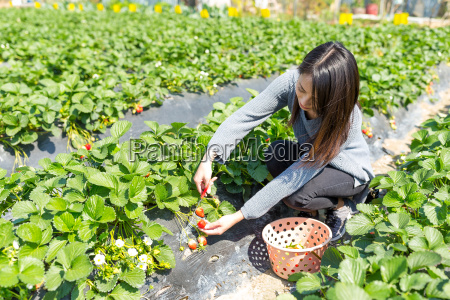 young woman picking strawberry in the