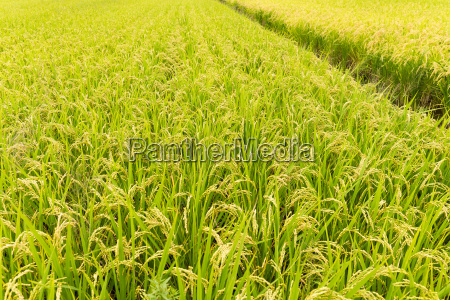 fresh, rice, field - 20560227
