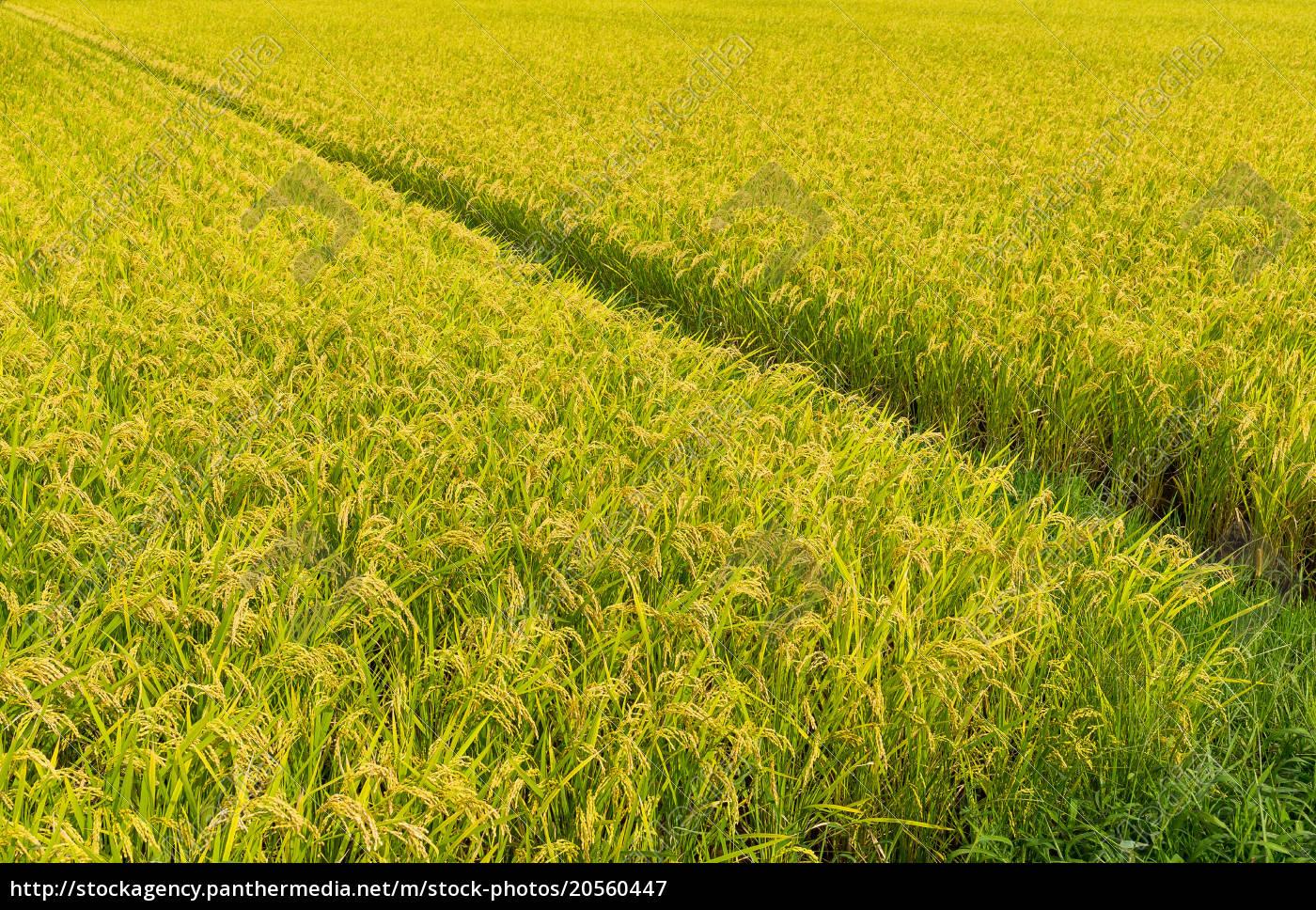 green, paddy, rice, field - 20560447