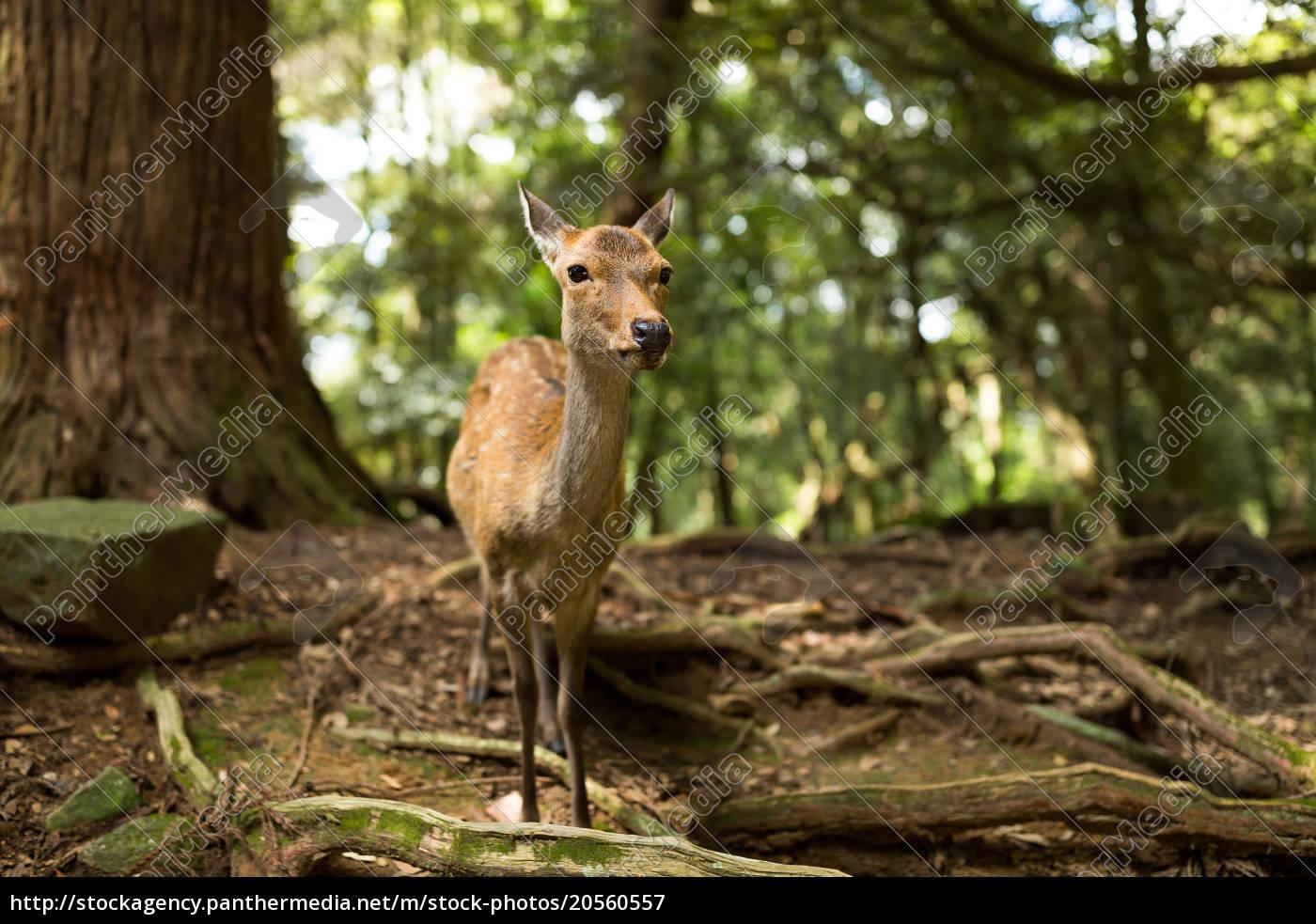 wild, deer - 20560557