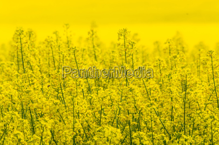 blossoming rape field with blue sky
