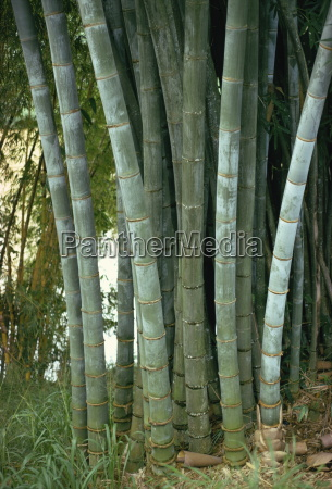 bamboo stems in the peradeniya botanical