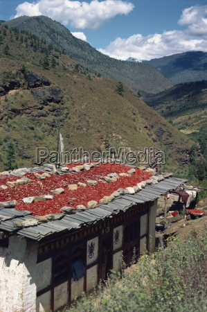 chillies drying on the roof of