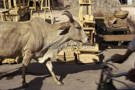 cow wandering the streets jaipur rajasthan