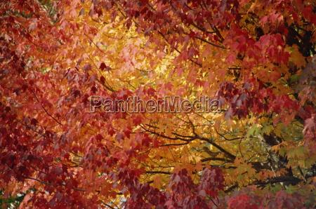 maple trees fall foliage canada north