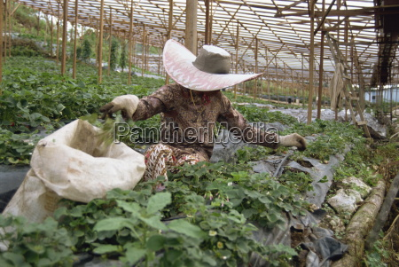strawberry growing cameron highlands malaysia southeast