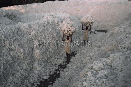 cotton harvest gujarat state india asia