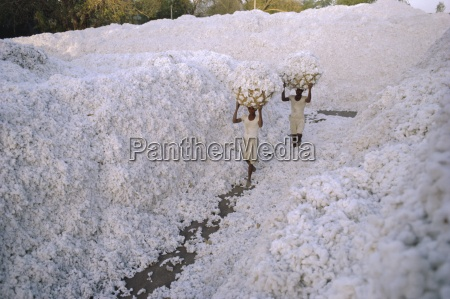the cotton harvest gujarat state india