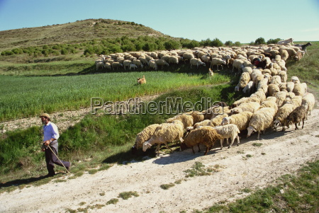 shepherd and his flock near itero