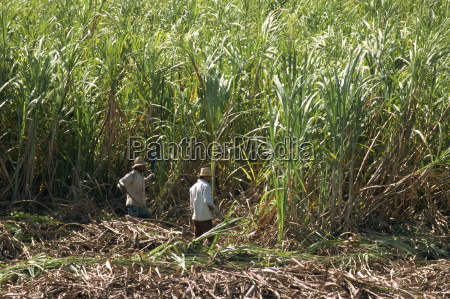 harvesting sugar cane by hand valle