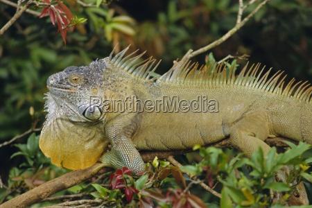 green iguana iguana iguana basking in
