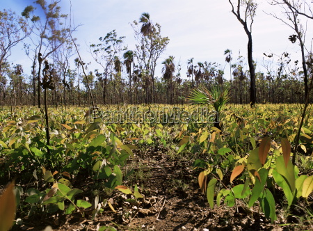 re growth of eucalyptus seedlings after