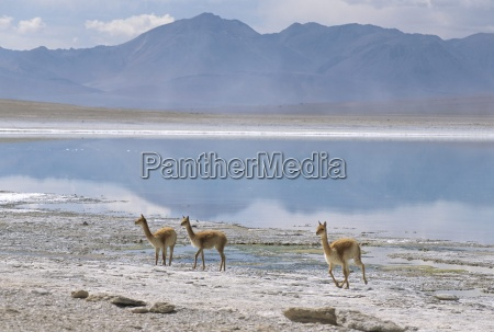 wild vicunas on borax mineral flats