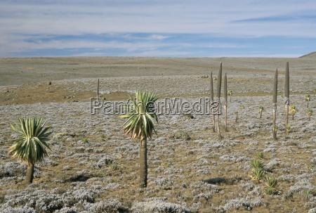 giant lobelias on sanetti plateau high
