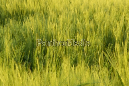 abstract close up of young wheat