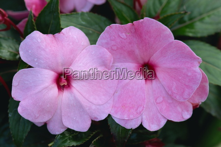 close up of impatiens flowers england