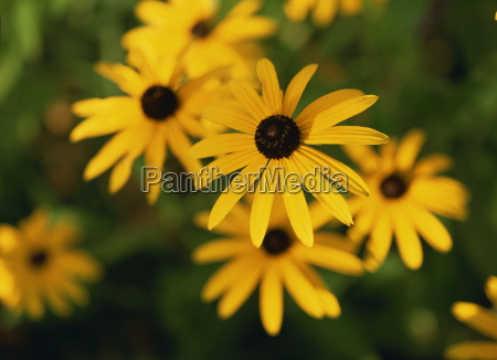 close up of yellow rudbeckia flowers