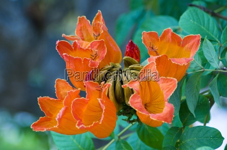 spathodea campanulata african tulip tree bright