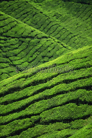 rows of tea bushes at the