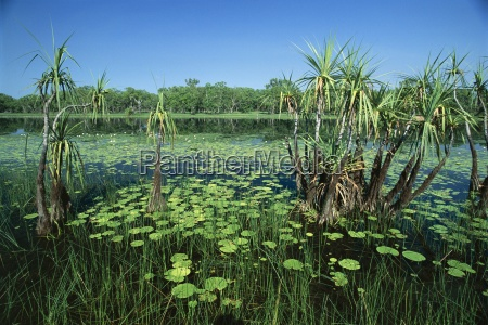 lily pads and small palms in