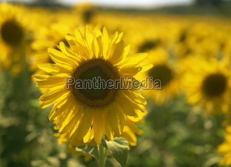 field of sunflowers helianthus annuus provence
