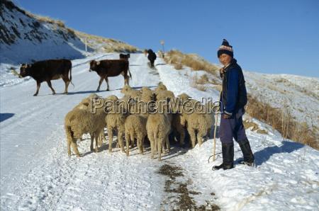 shepherd with flock of sheep on