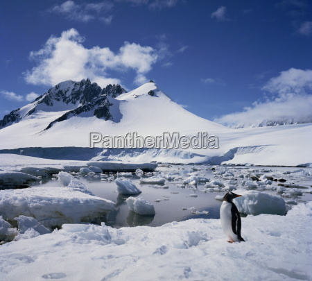 single gentoo penguin on ice in
