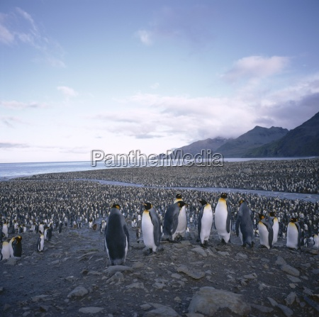 king penguin rookery south georgia south