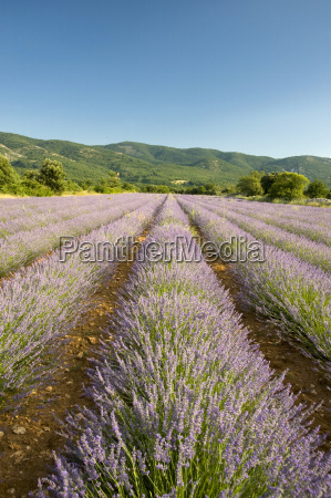 a field of lavender in provence