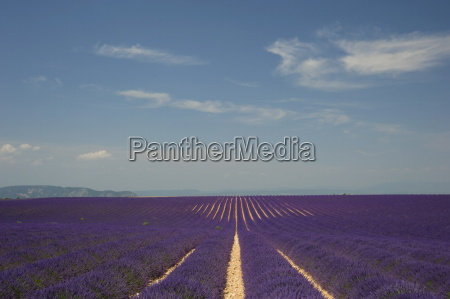 a field of lavender growing on