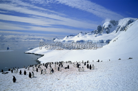 gentoo penguins stand on snow on