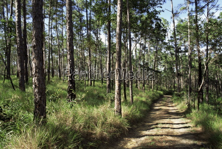 path through pines mountain pine ridge