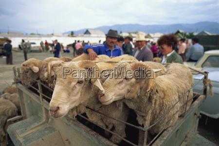 customers inspecting sheep at sheep market
