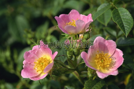 pink flowers of wild roses rosa