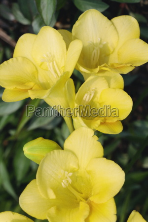 close up of yellow freesia flowers