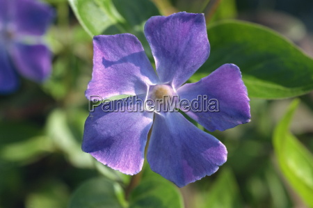 close up of a periwinkle flower