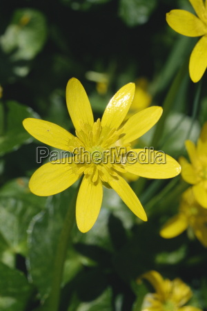 close up of yellow flower of