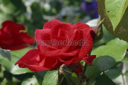 close up of red rose cardinals